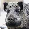 icon_index_wildschweine